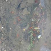 13高瀬川に魚がいたよ